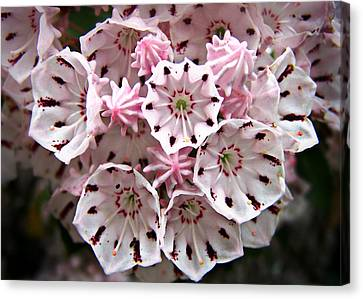 Pink Flowered Mountain Laurel Canvas Print by William Tanneberger