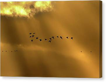 Pink Footed Geese Canvas Print