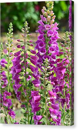 Pink Foxglove Flowers Canvas Print by P S