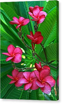 Canvas Print featuring the photograph Pink Frangiapani - Plumeria by Larry Nieland