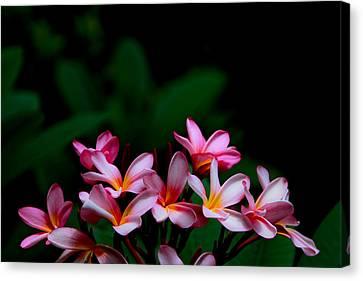 Pink Frangipani Canvas Print by Donald Chen