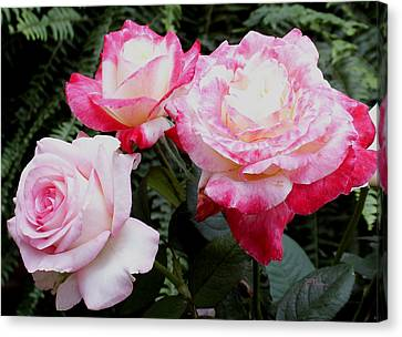 Canvas Print featuring the photograph Pink Garden Roses by James C Thomas