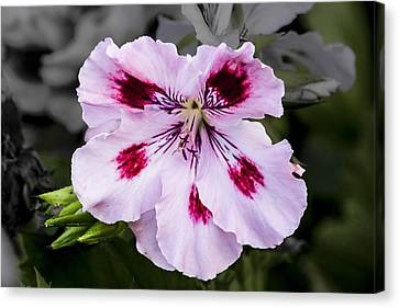 Pink Geranium Canvas Print by Photographic Art by Russel Ray Photos