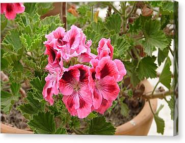 Canvas Print featuring the photograph Pink Geraniums by Lew Davis