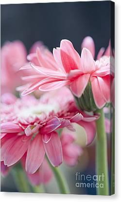 Pink Gerber Daisy - Awakening Canvas Print