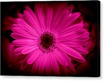 Pink Gerbera 1 Canvas Print