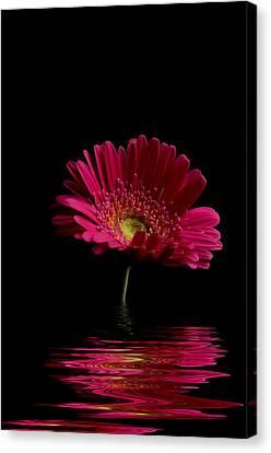 Pink Gerbera Flood 1 Canvas Print by Steve Purnell