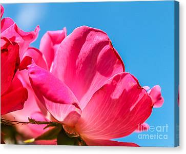 Pink Glory Canvas Print by Brandon Hussey