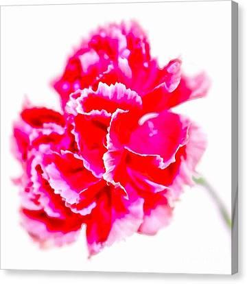 Pink Carnation Canvas Print - Pink Glory by Krissy Katsimbras
