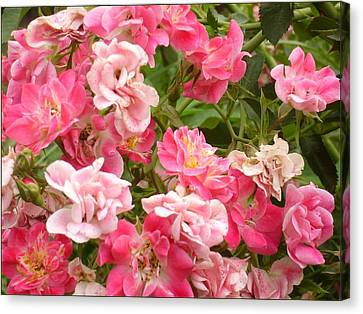 Canvas Print featuring the photograph Pink Groundcover Roses by Margaret Newcomb