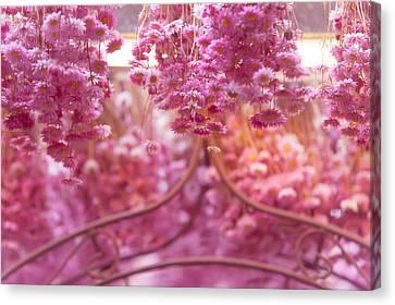 Pink Helichrysum. Amsterdam Flower Market Canvas Print by Jenny Rainbow