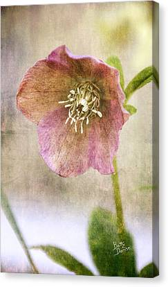 Canvas Print featuring the photograph Pink Hellebore by Betty Denise