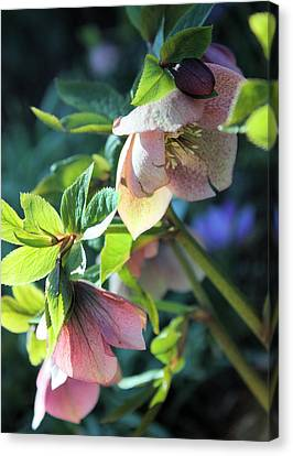 Pink Hellebore Canvas Print by Gerry Bates