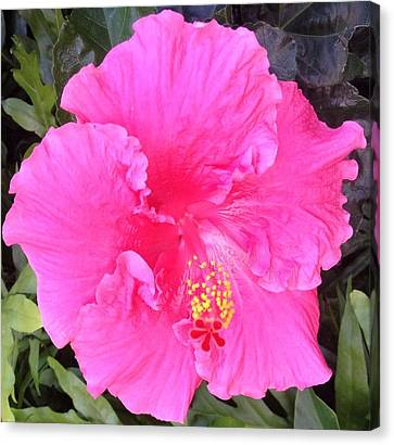 Canvas Print featuring the photograph Pink Hibiscus by Alohi Fujimoto