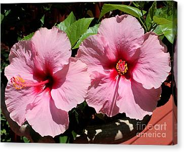 Pink Hibiscus Blooms Canvas Print by Carol Groenen