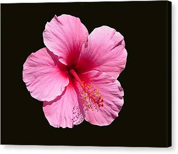 Pink Hibiscus Blossom Canvas Print