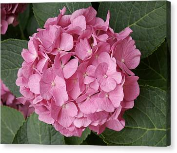 Canvas Print featuring the photograph Pink Hydrangea by Sandy Molinaro