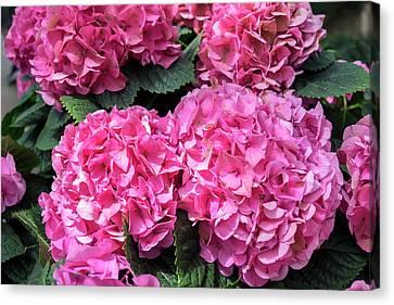 Perennial Canvas Print - Pink Hydrangea, Usa by Lisa S. Engelbrecht
