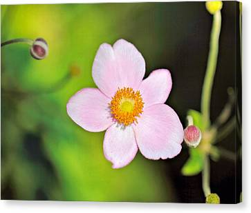 Pink Japanese Anemone Canvas Print by Katherine White