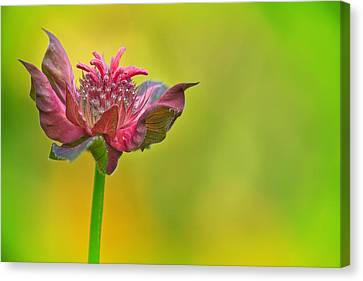 Pink Jester In Greene Canvas Print by Sylvia J Zarco