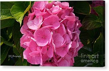 Canvas Print featuring the photograph Blushing Rose by Jeannie Rhode