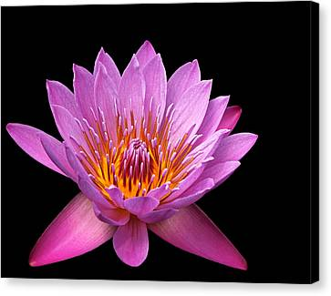 Canvas Print featuring the photograph Pink Lady On Black by Judy Vincent