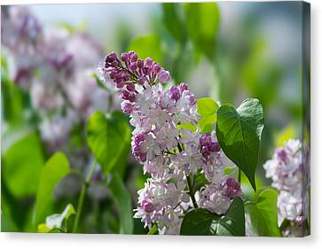 Pink Lilacs And Green Leaves - Featured 3 Canvas Print by Alexander Senin