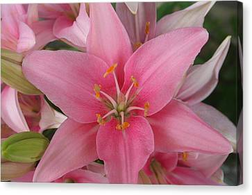 Pink Lilies Canvas Print by Cary Amos