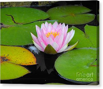 Pink Lilly Flower Canvas Print