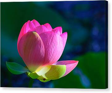 Pink Lily Canvas Print by John Johnson