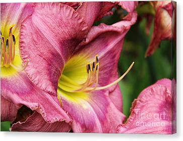 Pink Lily Canvas Print by Rosemary Aubut
