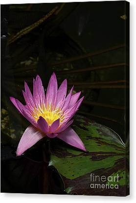 Pink Lotus Flower On Lily Pad Canvas Print by Linda Matlow