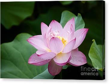 Pink Lotus Flower Canvas Print by Oscar Gutierrez