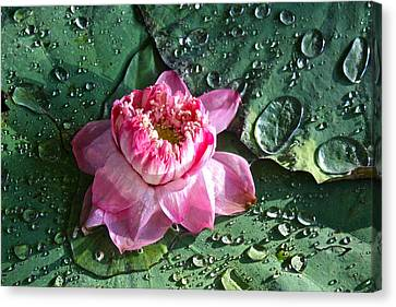 Pink Lotus Flower Canvas Print by Venetia Featherstone-Witty