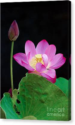 Canvas Print featuring the photograph Pink Lotus Flowers by Eva Kaufman