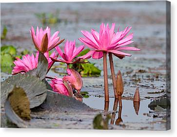 Pink Lotuses Canvas Print by Fotosas Photography