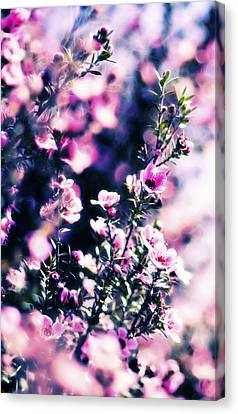 Pink Manuka Flowers Canvas Print by motography aka Phil Clark