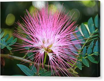 Pink Mimosa Flower Canvas Print by Eti Reid