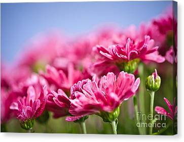 Pink Mums Canvas Print by Elena Elisseeva