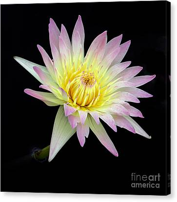 Florida Flowers Canvas Print - Pink N Yellow Water Lily Too by Sabrina L Ryan