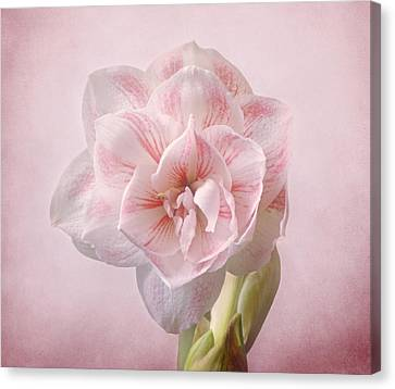 Pink Nymph Amaryllis Canvas Print