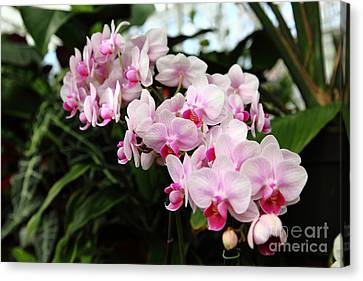 Pink Orchids 5d22430 Canvas Print by Wingsdomain Art and Photography