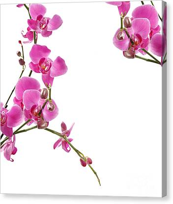 Pink Orchids Canvas Print by Boon Mee