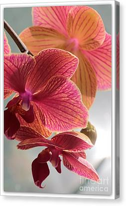 Pink Orchids Canvas Print by Carol Groenen