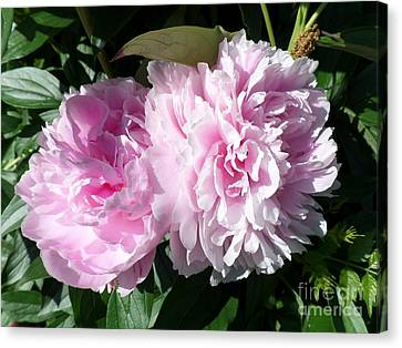 Pink Peonies 3 Canvas Print by HEVi FineArt