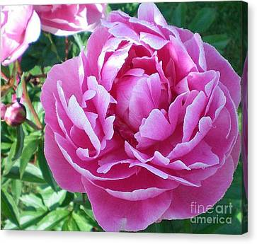 Canvas Print featuring the photograph Pink Peony by Barbara Griffin