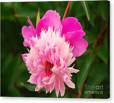 Canvas Print featuring the photograph Pink Peony by Mary Carol Story