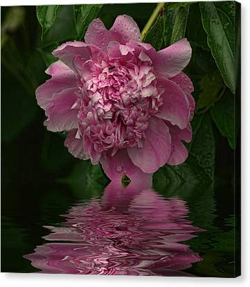 Pink Peony Reflection Canvas Print by Rick Friedle