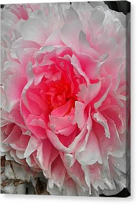 Pink Peony Rose Canvas Print by Beril Sirmacek