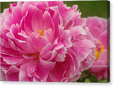 Canvas Print featuring the photograph Pink Peony by Suzanne Powers